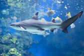 Big shark in water — Stock Photo