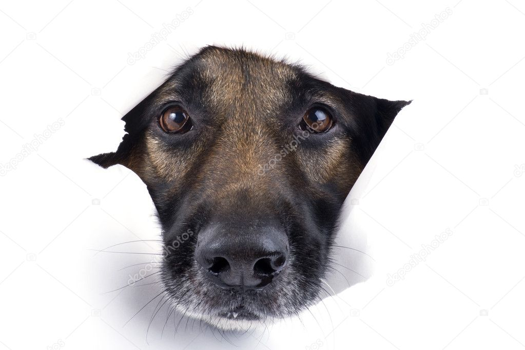 Object on white - muzzle dog close up — Stock Photo #4334299