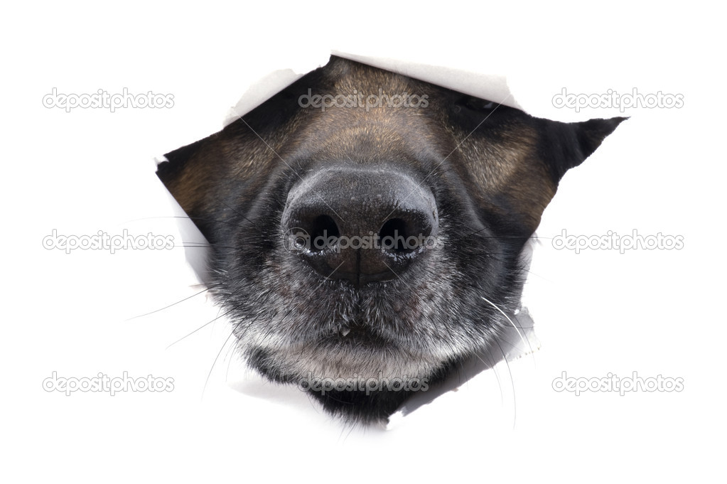 Object on white - muzzle dog close up — Stock Photo #4334309