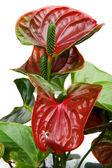Anthurium close up — Stock Photo
