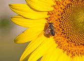 A bee on a yellow sunflower — Stock Photo