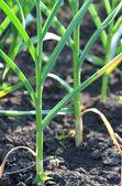 Stems of garlic — Stock Photo