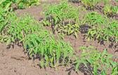 Piantine di pomodoro — Foto Stock