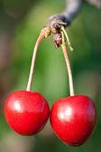 Two ripe cherries — Stock Photo