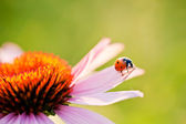 Ladybird on flower — Stock Photo