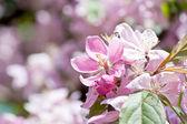 Cherry Blossom.Macro — Stock Photo
