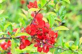 Zweig mit roten blüten — Stockfoto