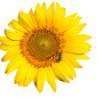 Insulated yellow sunflower — Stock Photo