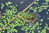 Rana de foto en el agua — Foto de Stock