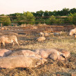 Pigs lie — Stock Photo #4803000