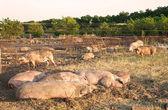 Pigs lie — Stock Photo