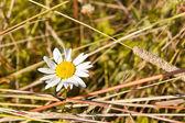 Papatya sarı çim — Stok fotoğraf