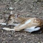 Little deer — Stock Photo #4341467
