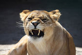 Lioness' bared teeth — Stock Photo