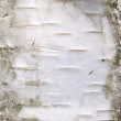 Stock Photo: Birch bark closeup photo