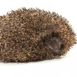 Hedgehog — Stock Photo #4175328