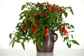 Red chili peppers in flowerpot — Stock Photo