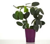 Domestic plant in flowerpot — Stock Photo