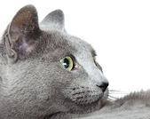 Russian blue cat — Stock Photo