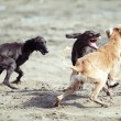 Dog fight - Stock Photo