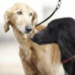 Two Turkmenian greyhound dogs — Stock Photo
