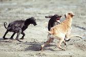 Pelea de perros — Foto de Stock