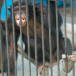Monkey in zoo — Stock Photo