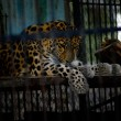 Leopard in Zoo - Photo