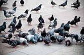 Flock of pigeons on the market — Stock Photo