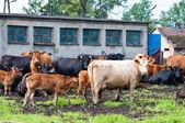 Bezerro e vacas na fazenda de gado leiteiro — Foto Stock