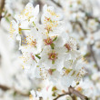 Plum-tree white flowers. — Stock Photo
