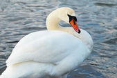 Beautiful white swan. — Stock Photo