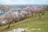 Amandelboom in bloei — Stockfoto