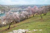 Blommande mandelträd — Stockfoto