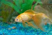 Tropical golden fish — Stock Photo