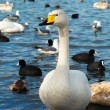 White swans. — Stock Photo #4389783
