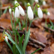 Spring flowers- snowdrops. - Stock Photo