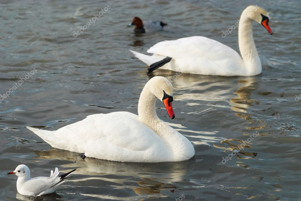 White swans on the water. — Stock Photo #4389793