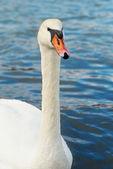 Krásná bílá labuť. — Stock fotografie