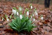 春の花スノー ドロップ. — ストック写真