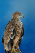 A hawk eagle — Stock Photo
