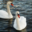 White swans. - Stock Photo