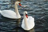 White swans. — Стоковое фото