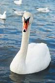 Schönen weißen schwan. — Stockfoto