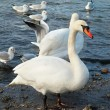 White swans. — Stock Photo #4424069