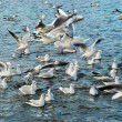 Flock of seagulls — Foto Stock
