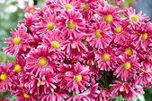 Field of dark pink chrysanthemums. — Stock Photo