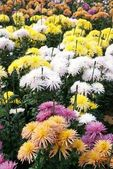 Field of different colors chrysanthemums. — Stock Photo