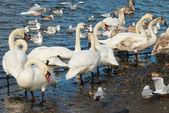 Bílé labutě. — Stock fotografie
