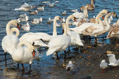 Cisnes blancos. — Foto de Stock